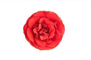 voll blühen rote Kamelienblume lokalisiert auf weißem Hintergrund foto