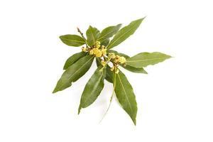 frischer Lorbeerzweigzweig mit Blumen lokalisiert auf weißem Hintergrund foto