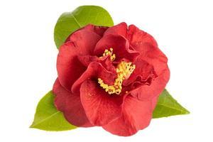 blühte rote Kamelienblume mit Blättern gelbes Staubblatt und Stempel lokalisiert auf weißem Hintergrund foto