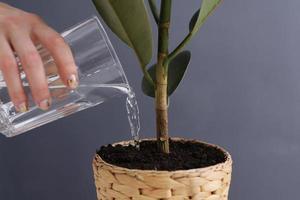 Frau, die Ficus benjamina drinnen auf grauem Hintergrund, Nahaufnahme wässert. heimische Pflanze. selektiver Fokus. foto
