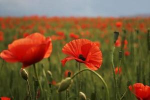 spektakuläre lebendige Blüte Nahaufnahme von Mohnblumen in einem Mohnfeld. Hallo Frühling, Frühlingslandschaft, ländlicher Hintergrund, Kopierraum. Blumenmohn blüht auf Hintergrundmohnblumen. Natur. foto