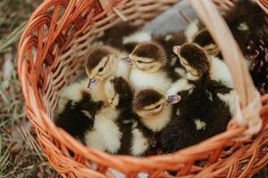 Gruppe von Entenküken in einem Korb mit Stroh, neugeborene Enten mit schwarzen und gelben Federn bereit zum Verkauf. kleine Ente im Korb foto