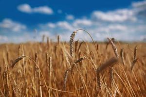 Hintergrund der reifenden Ohren eines gelben Weizenfeldes auf dem Hintergrund des bewölkten orangefarbenen Himmelshintergrunds des Sonnenuntergangs. Kopieren Sie den Raum der untergehenden Sonnenstrahlen am Horizont auf der ländlichen Wiese. Nahaufnahme Naturfoto Idee einer reichen Ernte foto