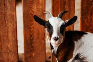 Ziege. Porträt einer Ziege auf einem Bauernhof im Dorf. schöne Ziege posiert. foto