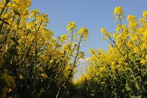 gelber Raps auf einem Hintergrund des Himmels. selektiver Fokus auf Farbe. Rapsfeld mit reifem Raps, landwirtschaftlicher Hintergrund foto