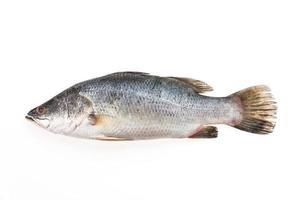 Seebarsch Fisch foto