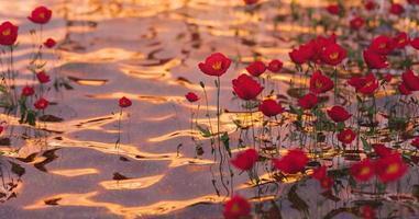 Mohnblumen auf klarem Wasser mit leichten Schimmern eines warmen Sonnenuntergangs, 3D-Rendering foto