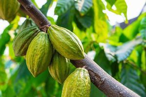 grüne Kakaofrucht foto