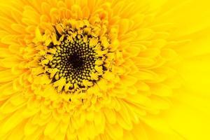 Nahaufnahme Gerbera Blume foto