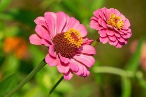 Zinnia blüht mit einem unscharfen Gartenhintergrund foto