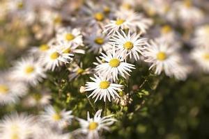 Nahaufnahme von weißen Gänseblümchen foto