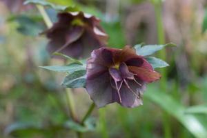 Nahaufnahme von Helleborus orientalis oder Fastenrose foto