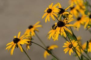 Nahaufnahme von gelben Zinnien foto