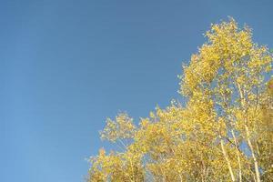 Landschaft der gelben Birkenblätter mit einem klaren blauen Himmel foto