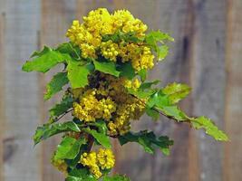 gelbe Blüten mit grünen Blättern foto