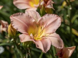 Pfirsich Hemerocallis Taglilie foto