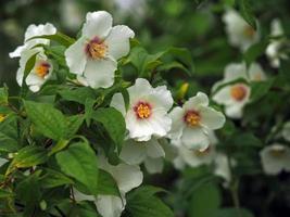 weiße Blüten auf einem nachgebildeten orangefarbenen Strauch foto