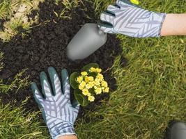 Gärtner pflanzt Sukkulenten in den Boden foto
