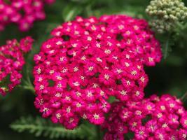 Nahaufnahme der rosa Schafgarbe foto