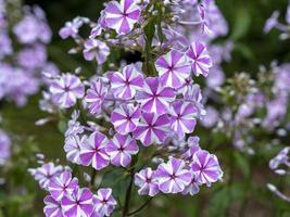 rosa gestreifte Phloxblumen foto
