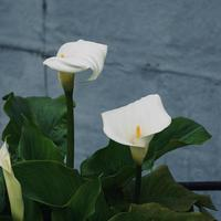 schöne Lilie Calla Blume im Garten in der Frühlingssaison foto