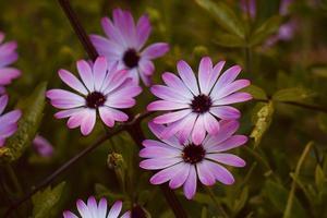 schöne rosa Blumenpflanze im Garten im Frühling foto