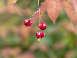 Nahaufnahme von roten Beeren foto
