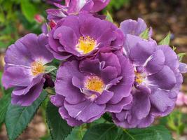 lila Pfingstrosenblüten foto