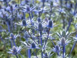 Seestechpalme Blumen foto