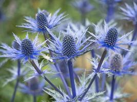 blaue Seestechpalme Blumen foto