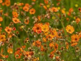 Feld der orange Blüten foto