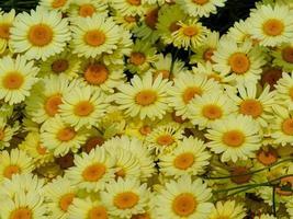 gelbe Gänseblümchenblumen foto