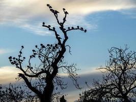 Tauben, die auf den kahlen Zweigen eines alten Baumes schlafen foto