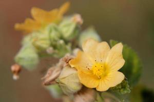 Flanell Unkraut Sida Cordifolia Blüten foto