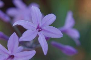 hellviolette Wildblumen foto