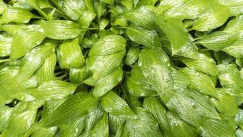 grüne Blätter Hosta Pflanze mit Wassertropfen. natürliches Muster. Foto auf Lager.