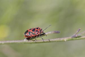 eurydema ornata ist eine Art aus der Familie der Pentatomidae auf Kreta foto