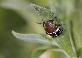 nezara viridula, allgemein bekannt als südlicher grüner Gestank, südlicher grüner Schildkäfer oder grüner Gemüsekäfer, Kreta foto
