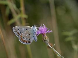 gemeines Blau - Polyommatus icarus, Griechenland foto