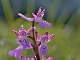 Blume der Orchideenart, Griechenland foto