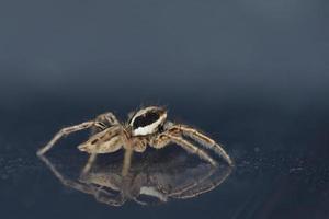 springende Spinne Plexippus Paykulli, Kreta foto