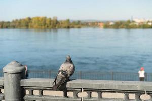 Taube auf einer Betonschiene neben einem Gewässer in irkutsk, Russland foto
