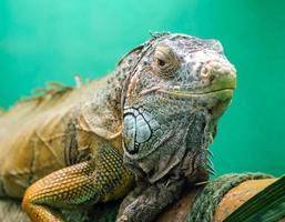 großer Leguan auf einem grünen Hintergrund schließen oben foto