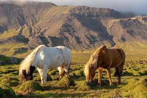 zwei isländische Pferde, die auf der isländischen Landschaft grasen foto