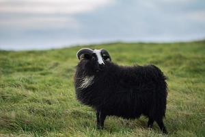 schwarze Schafe, die auf grünem Gras stehen foto