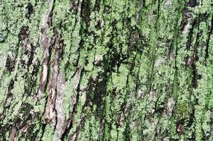 hölzerner Hintergrund des Ahornbaumstammes mit grünem Moos foto
