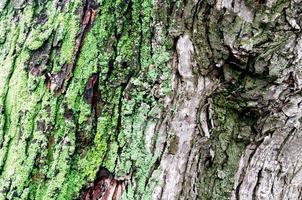 Holzhintergrund des Ahornbaumstammes mit grünem Moos foto