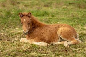 süßes kastanienfarbenes isländisches Pferdefohlen foto