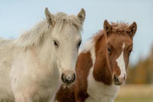 zwei junge isländische Pferdefohlen foto