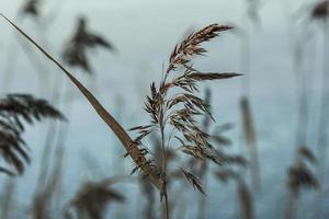 Nahaufnahme von wildem Gras foto
